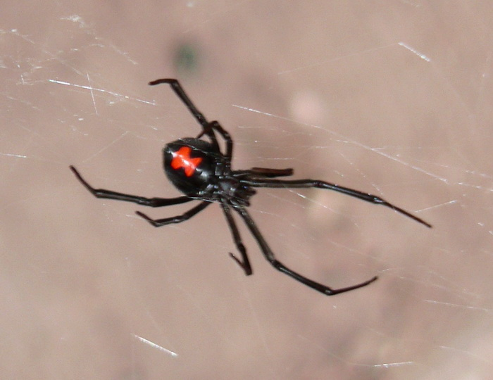 черный паук с точками на спине фото что