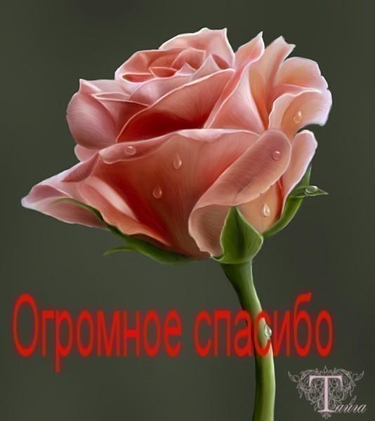 &_208 роза - спасибо! (534x600, 46Kb)