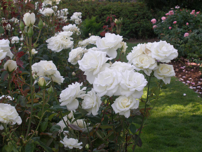 3241851_068_White_roses__International_Rose_Garden_in_Portland (700x525, 152Kb)