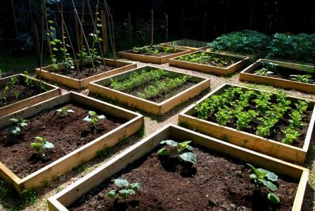 vegetable_patch_june_21 (448x300, 43Kb)