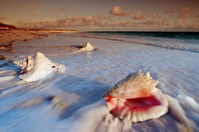 1265128728_conch-shells-cat-island-bahamas (700x465, 58Kb)