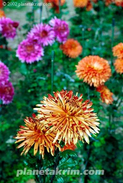 Сорта хризантем, имеющие разветвлённую структуру куста...