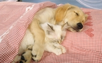 Превью Animals_Beasts_Sleeping_friends_023711_ (700x437, 274Kb)