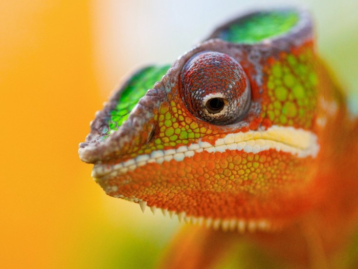 4126500_Animals_Reptiles_Bright_chameleon_023010_ (700x525, 62Kb)