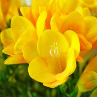 Freesia_8 (200x200, 38Kb)