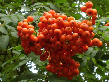 ashberry (350x263, 47Kb)