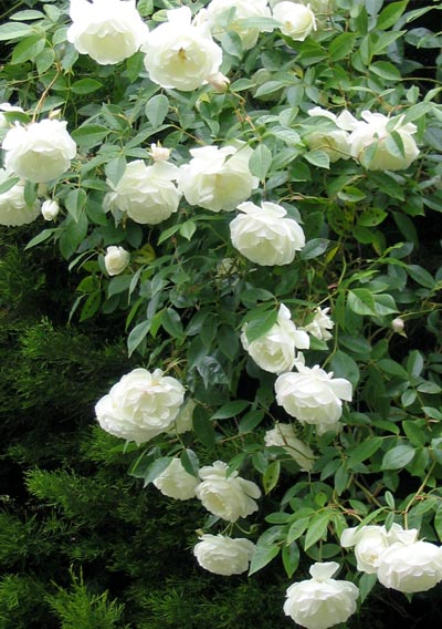 iceberg-shrub-rose (400x568, 61Kb)
