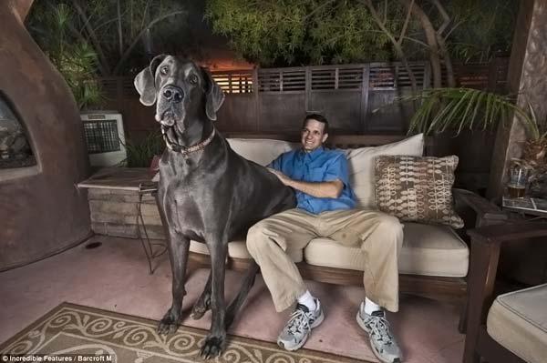 worlds-tallest-dog-01 (600x399, 35Kb)