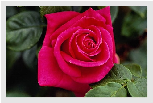 carte_rose0026 (496x336, 65Kb)