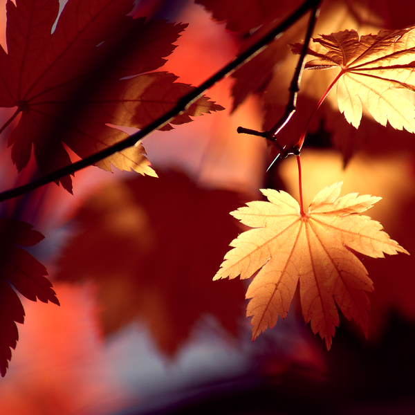 06_3_Autumn_Shadows_by_Jay_Cougar_Prints (600x600, 466Kb)