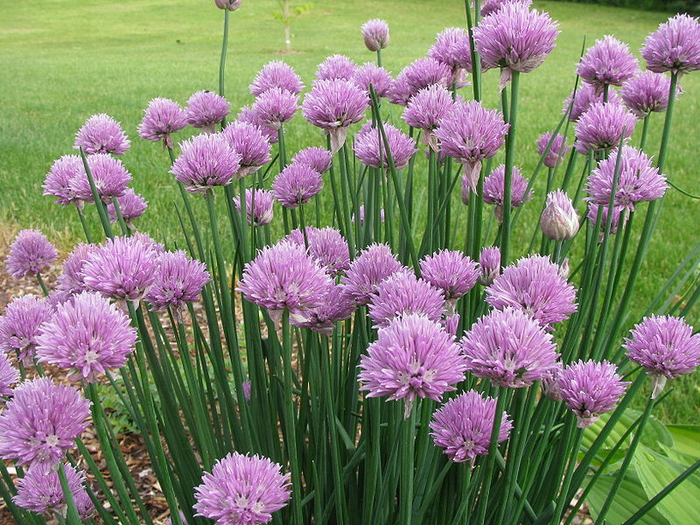 145_chives (700x525, 549Kb)