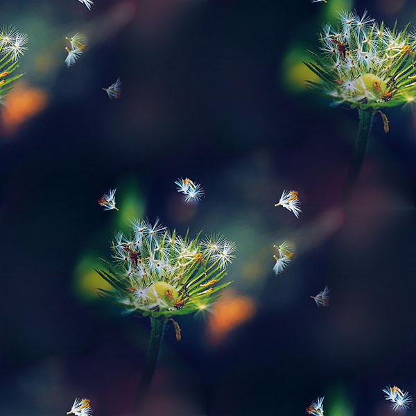 papers.co-mc82-wallpaper-blowing-dandelion-flower-1-wallpaper (600x600, 186Kb)