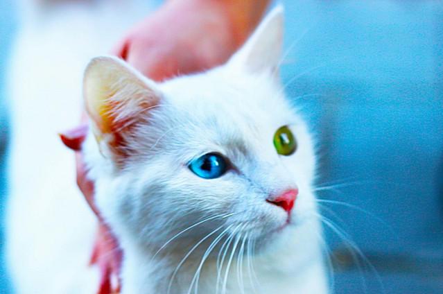 Картинки по запросу Самый красивый в мире Кот с разноцветными глазами