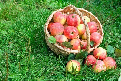 8272544-harvesting-of-apples-in-the-autumn (400x267, 54Kb)