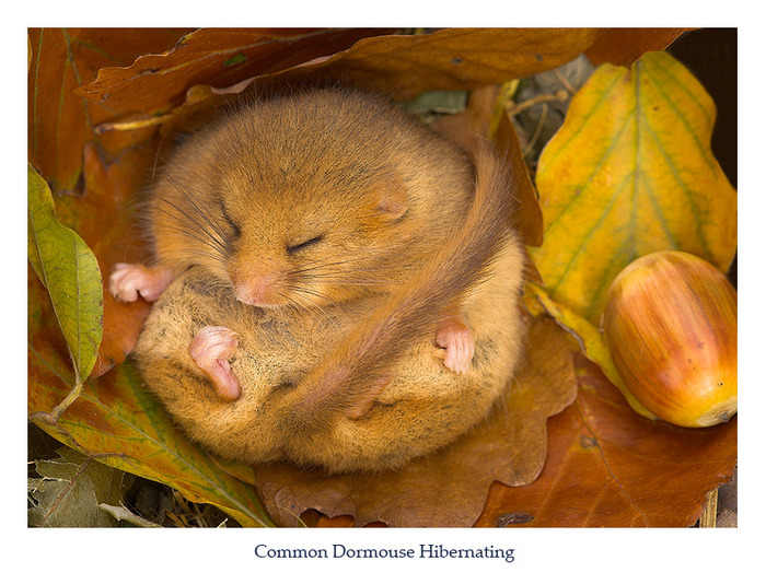 1901311_21_Dormouse_3 (700x534, 155Kb)