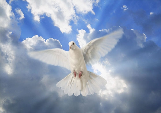 69861090_1296173342_s_white_dove_2_ (557x390, 95Kb)