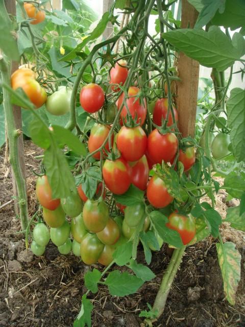 алсу помидор фото