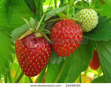 stock-photo-ripening-strawberry-fruits-on-the-branch-22446520 (450x358, 92Kb)