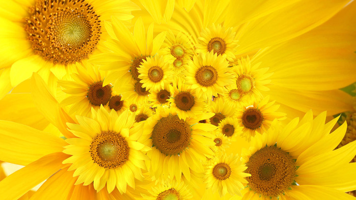 sunflowers-wallpaper-1366x768 (700x393, 118Kb)