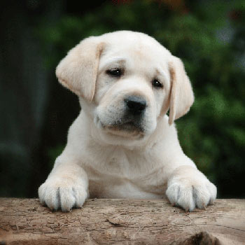 LabradorRetriever_big3 (350x350, 23Kb)