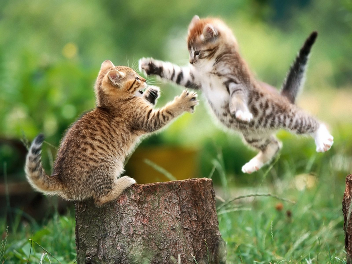 cats_fighting-5450 (700x525, 396Kb)