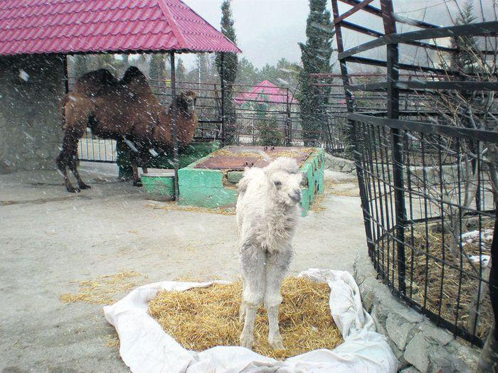 белый верблюженок