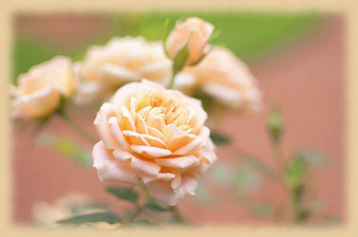Чайная роза бесплатно