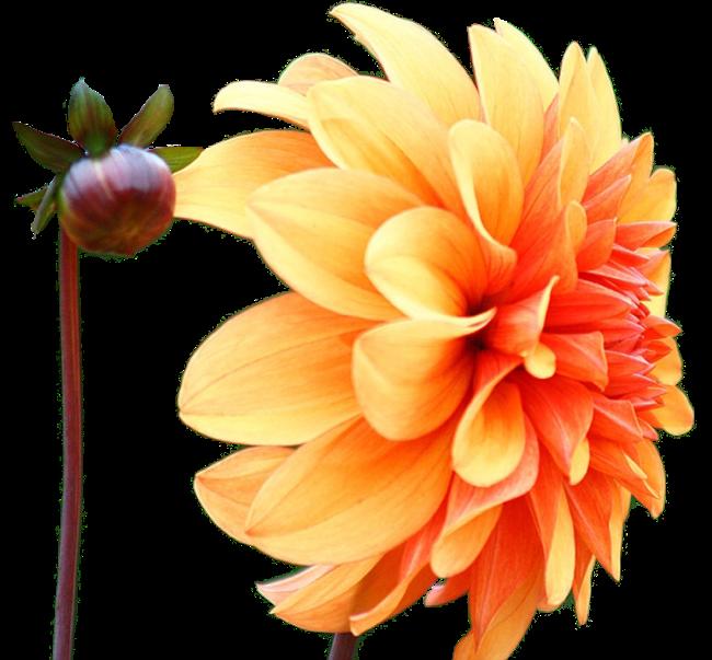 Поздравления, цветы георгины картинки на белом фоне