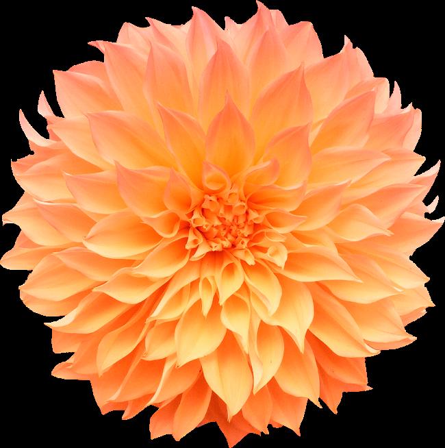 Цветы георгины картинки на белом фоне