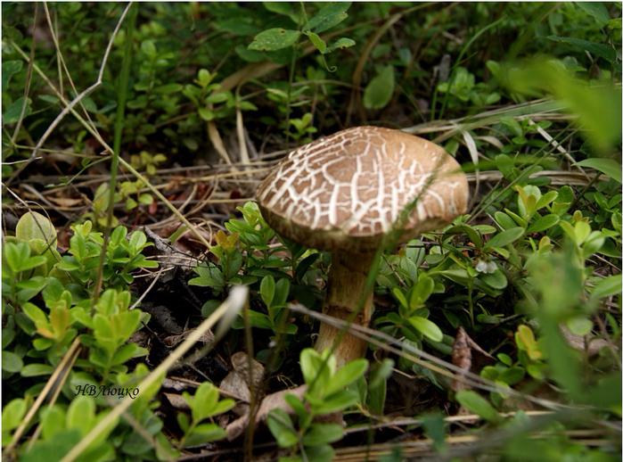 грибы забайкальского края фото описание и название грибов получения