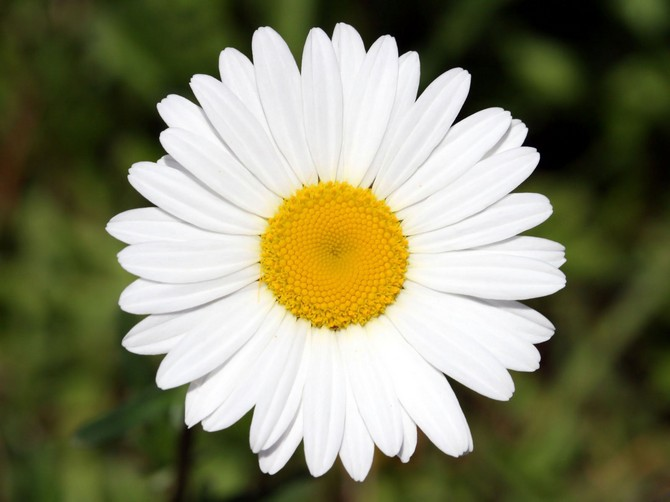 White_Flower_3970_1600_1200 (670x502, 64Kb)