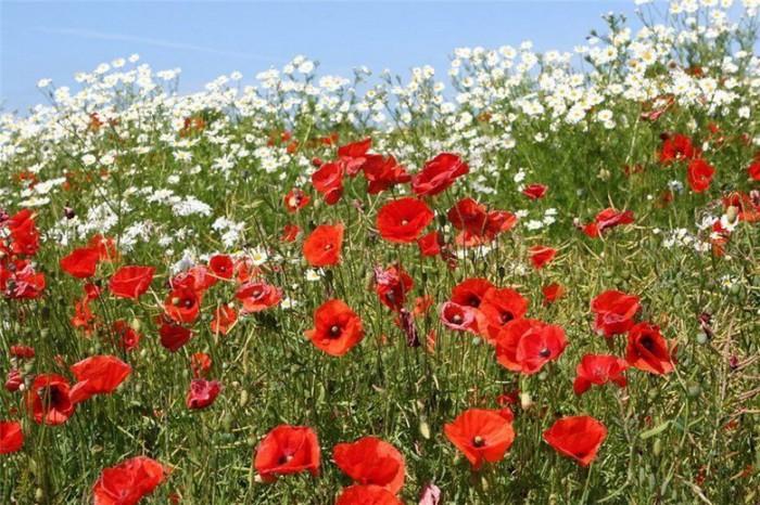Картинка к стихотворению бунина полевые цветы