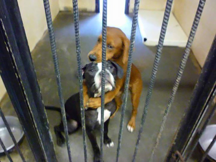 shelter-dogs-hug-photo-viral-save-life-euthanasia-kala-keira-angels-among-us-4 (600x425, 113Kb)