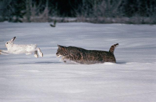Как рысь ловит добычу