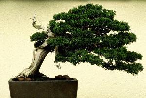 4387736_bonsai00 (300x201, 15Kb)