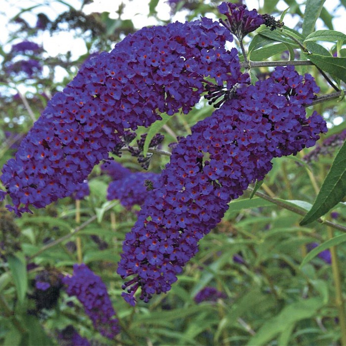Buddleja-davidii-Empire-blue (700x700, 188Kb)