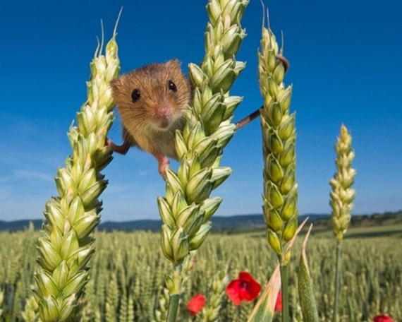 harvestmouse_2_funnypagenet_com (570x456, 74Kb)