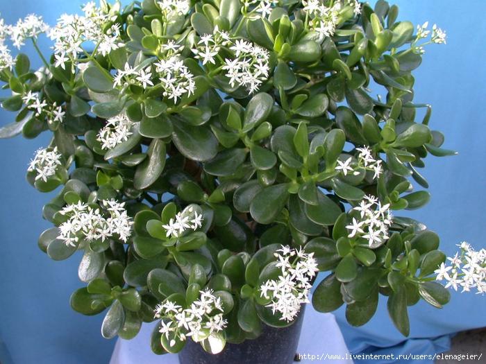 Комнатный цветок с белыми маленькими цветочками 21