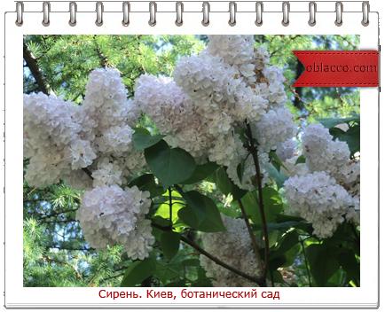 Сирень. Киев, ботанический сад