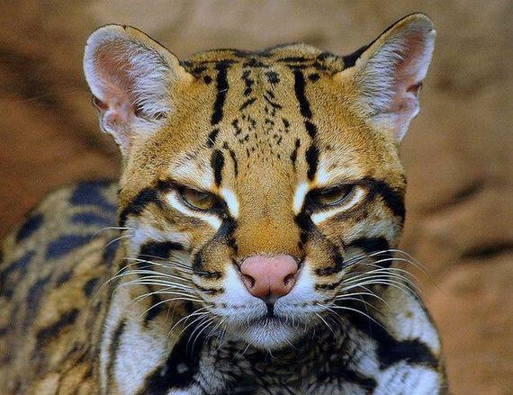 в мире животных кот оцелот обсуждение на Liveinternet