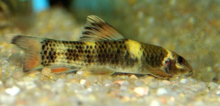 Рыбки гарра руфа псориаз