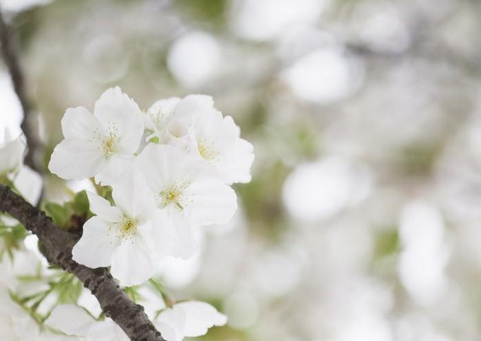 Ванильные фотографии цветов от Sozaijiten 14 (700x496, 43Kb)