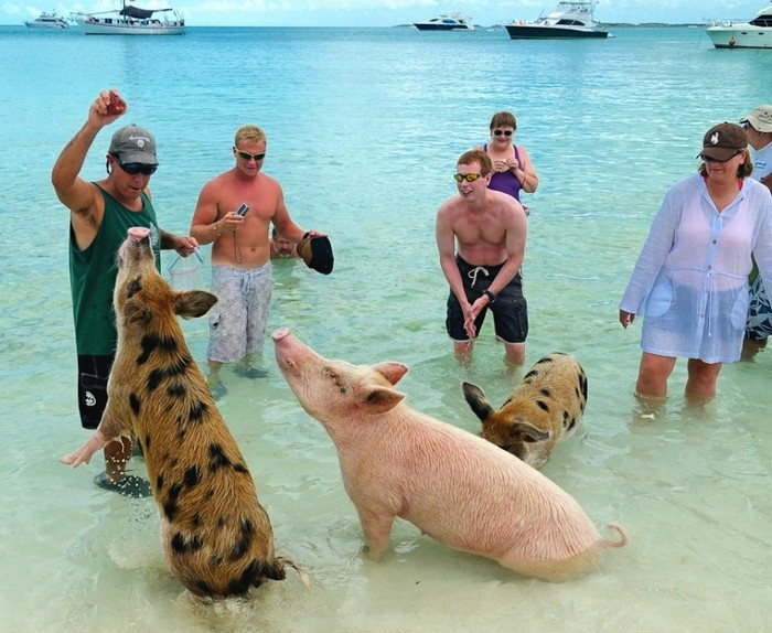 swimming_pigs_big_major_cay_7 (700x574, 116Kb)