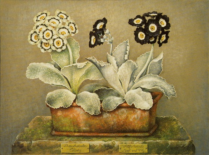 SHOW AURICULA COLBURY AND SELF AURICULA NEAT AND TIDY43x33cm1989 (700x521, 136Kb)