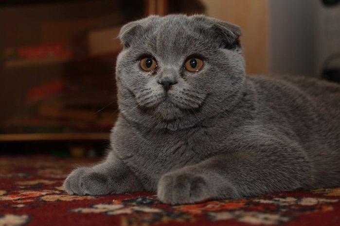 самойлова взрослая вислоухая кошка фото понятные