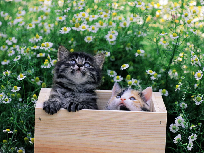 wallpapers_cats_705 (700x525, 171Kb)