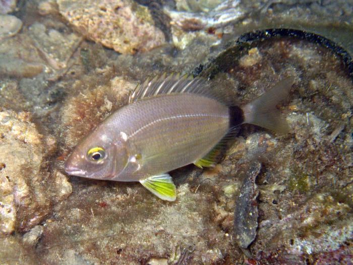 атлас рыб черного моря фото и названия