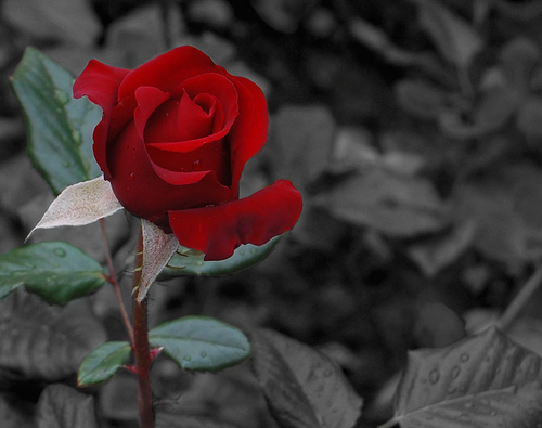 versailles___rose_descendant_17_by_maidendawn-d4qegkw (500x395, 76Kb)