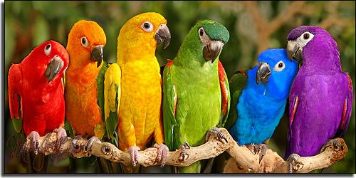 Попугаи (500x250, 123Kb)
