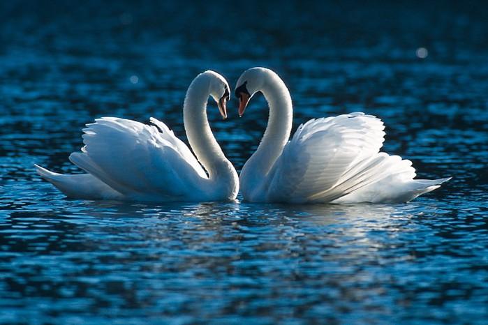 картинки с двумя лебедями они